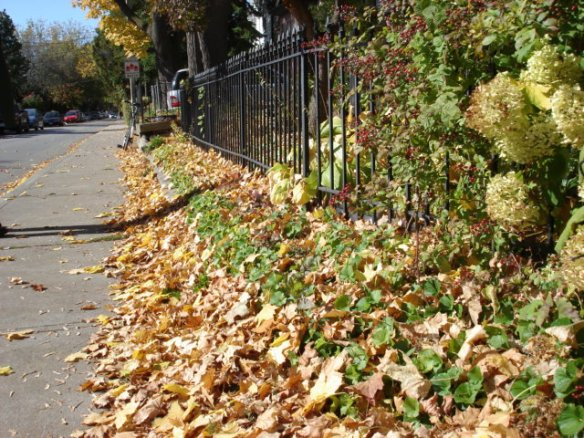 The autumn leaves in Parkdale