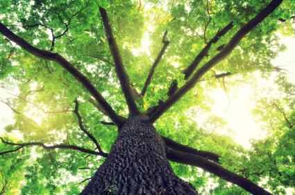 A photo of an oak tree